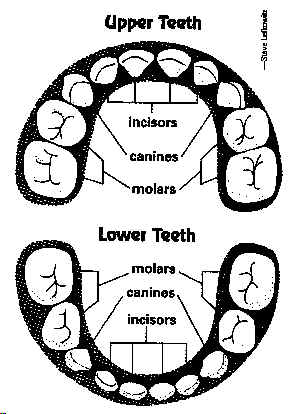 Baby Teeth Chart/Diagram - Order Of Baby Teeth Falling Out